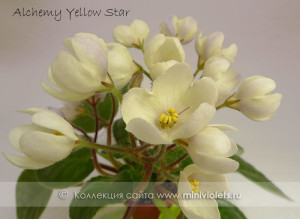 Alchemy Yellow Star (D.Senk)