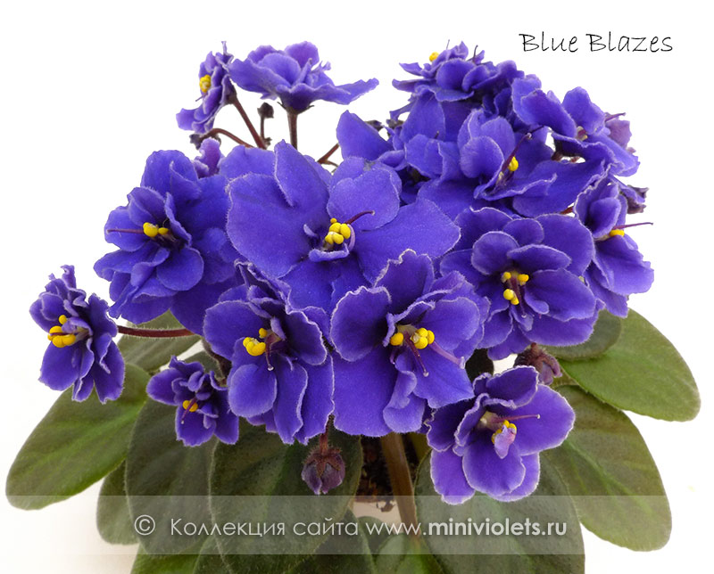 Blue Blazes (D.Harrington)