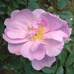 02_dog_rose