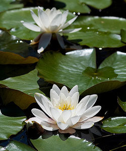06_water_lily