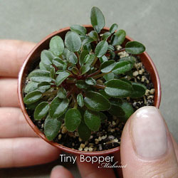 13_tiny_bopper