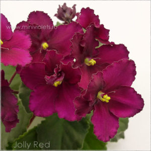 Jolly Red (H.Pittman)