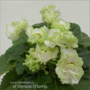 Lil' Glimpse O'Spring (LLG/Sorano)