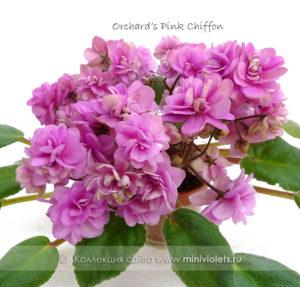 Orchard's Pink Chiffon (R.Wilson)