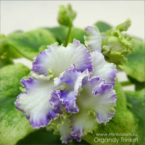Organdy Trinket (E.Champion)