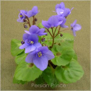 Persian Prince (S.Sorano)