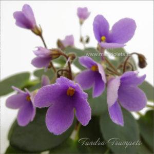 Tundra Trumpets (A.Murphy)