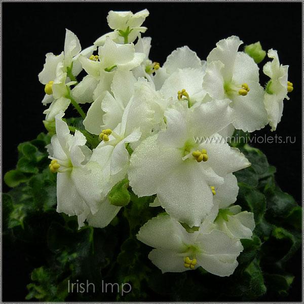 Irish Imp