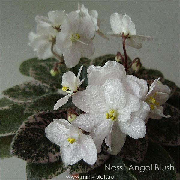 Ness' Angel Blush