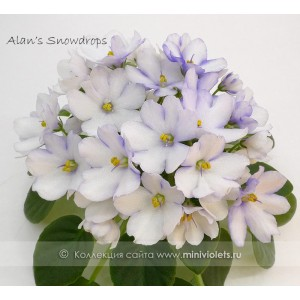 Alan's  Snowdrops