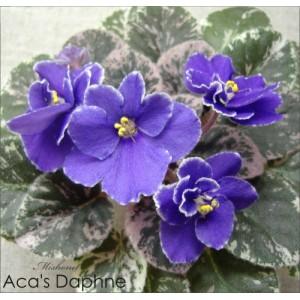 Aca's Daphne