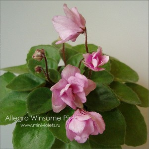 Allegro Winsome Pink