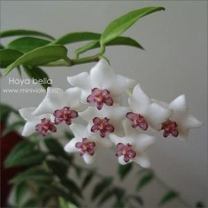 Хойя (hoya) bella