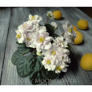 Jolly Moonflower