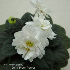 Jolly Moonflower