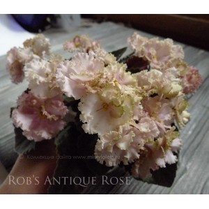 Rob's Antique Rose